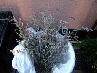 おぼハオルチアの花芽茎・・・こんなに咲かせて・・・もっと早く切ってあげたらよかったかしら・・・2013.05.23