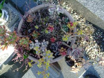 激寒冬を乗り越えて生き残ったお墓の多肉植物~寄せ植え~♪2013.05.17