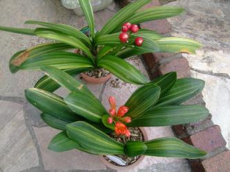 斑入りクンシラン(君子蘭)(Clivia miniata)原産地:南アフリカ~今年も手間いらず~手入れなしで開花しました ♪2013.04.18