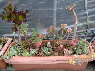 多肉植物寄せ植え~大きいプランターでスクスク育ちます♪2013.05.06
