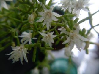 リプサリス 青柳(Rhipsalis cereusucla)~南米ウルグアイ、パラクアイ原産。日本では春満開花中~♪2013.04.10