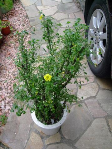 オキザリス ギガンティア(Oxalidaceae Oxalis gigantea)花芽が付き始め咲き始めました♪休眠前に開花~2013.04.20