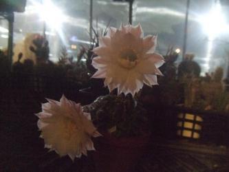エキノプシス 世界の図(Echinopsis eyriesii f.variegata) 夜8時頃見に行くとこのサボテンだけ開花中~2013.05.22