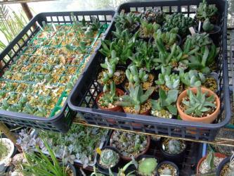 高度葉物メセンの挿し木苗(2012.10.07~)とその他葉物メセン株の置き場~風通し良く水やりもまだしています♪2013.05.30