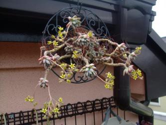 グラプトペタルム 愁麗(シュウレイ)(Graptopetalum sp. syu-rei ) 吊るしておいたらこんなになってます♪2013.05.02