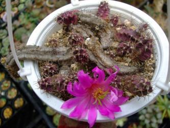エキノケレウス  美花角(びかかく)(Echinocereusu pentalophus)吊るされていじめられて・・・美しい花を・・・咲かせていました♪苦しすぎそ~\(~o~)/2013.04.14