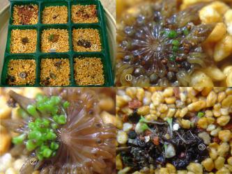 アルギロデルマ 金鈴(キンレイ)~こぼれ種発芽とその他の種も苗床へ・・・上手くいくでしょうか?2013.02.28