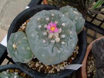 ロフォフォラ 銀冠玉(Lophophora williamsii var. decipiens) ピンクの花が咲いてました~♪2013.04.06
