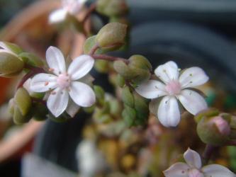 セダム スプリングワンダー(sedum versadense var.versadense)~原産地~メキシコ オアハカ高地性の2年総セダムかしら?かわいい花が開花中