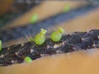 リプサリス バッキフェラ 亜種ホルリダ(Rhipsalis baccifera ssp.horrida)=(Rhipsalis fasciculata)鬼糸葦・鬼柳・吹競・横笛~稜のある茎節、側生花0.5cm小さい花、目立たない開花後直ぐ種になってる感じです。