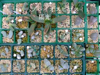昨年秋に挿し木した葉物・玉型メセン苗~プレイオスピロス 陽光が育ったので植え替えます♪2013.02.17