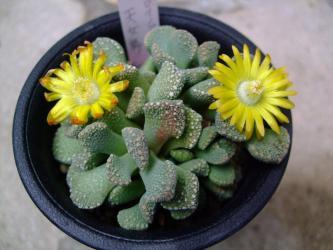 アロイノプシス 天女舞(Aloinopsis villetii)2輪同時に咲きました~♪2013.02.20