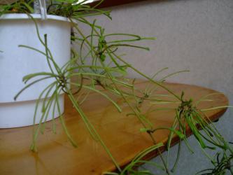 ホヤ レツーサ(Hoya retusa)東インド原産?(最低気温12度以上?)薄っぺらな極細葉と細茎が珍奇でサイコー♪2013.02.25