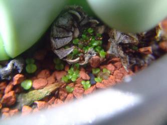 アルギロデルマ 金鈴(きんれい)(Argyroderma roseum var. delaetii)水やりしてたら勝手に発芽してます~ビックリ~♪2013.02.26