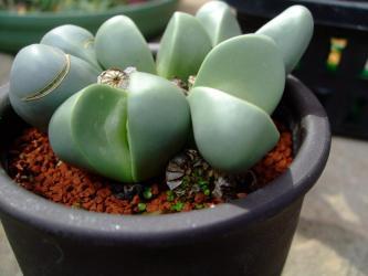 アルギロデルマ 金鈴(きんれい)(Argyroderma roseum var. delaetii)水やりしてたら勝手に種鞘開いてこぼれて発芽してます~ビックリ~♪2013.02.26