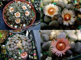 アロイノプシス属 唐扇(からおおぎ)Aloinopsis schoonesii 午後から開き開花します♪2013.02.28