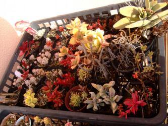 西ベランダ一番上の棚~野晒し冬越している強靭多肉植物いろいろ~枯れ枯れしく紅葉中~2013.03.03