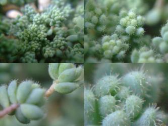 セダム 玉蛋白(たまたんぱく)(ダシフィルムの長毛タイプ)(Sedum dasyphyllum var. suendermannii) 拡大するとこんなに突起が・・・生えています♪2013.03.13