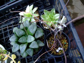 手前左:H.ガラスコンプト アマゾナイト、右手前:H.デラステンシス、奥:H.宝草錦~花芽が上がっているのでどうにか掛け合わせて見たいのですが・・・ダメでしょうか~?2013.03.06