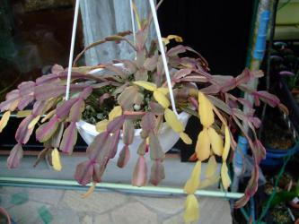 蟹葉サボテン(Schlumbergera bridgesii)シュルンベルゲラ ブリジシー斑入り種~良く日に当たりまだまだ紅葉しています♪2013.03.08