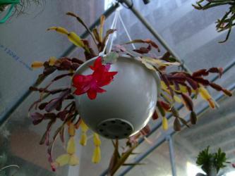 蟹葉サボテン(Schlumbergera bridgesii)シュルンベルゲラ ブリジシー斑入り種~ピンチをしっかりしないせいで・・・蕾が少ないです・・・2013.03.08