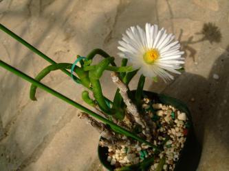 モニラリア オブコニカ (Monilaria obconica) 花芽が上がって大きな蕾から咲くまで1ヶ月かかりました(´ヘ`;)2013.03.10