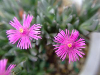 ルスキア プルビナリス(Ruschia pulvinaris)開花~♪2013,03,11