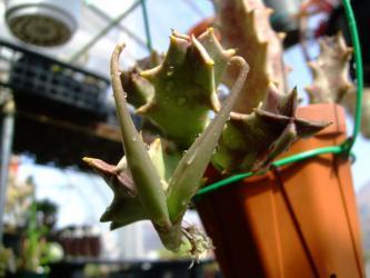 カラルマ メラナンサ(Caralluma melanantha)?同義語=オルベア メラナンサ(Orbea melanantha)? 角が・・・できています♪種かしら・・・2013.03.12