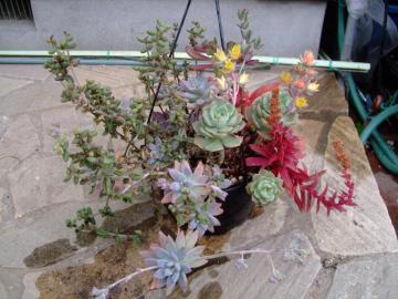 エケベリア 緑牡丹(みどりぼたん)(Echeveria