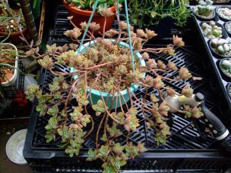 プレクトランサス ネオチラス(Plectranthus neochilus)和名:藤壺(フジツボ)? 吊鉢で吊るしていたので下垂れ良い感じに茂っています♪2013.03.14