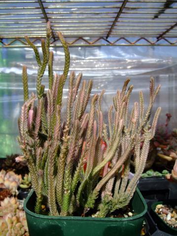 クラッスラ 青鎖竜錦(セイサリュウニシキ)若緑斑入り(Crassula muscosa variegata)2013.03.16