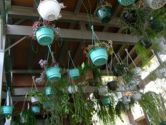 室内冬篭り観葉植物(葦サボ・ホヤ・ディスキディアなどなど)屋外にやっと出しました~♪風に当たって~気持ち良さそう~♪2913.03.17