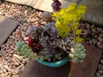 セダム トレレアセイ Sedum treleasei (天使の雫)~木立して黄色なセダムの花がぱっと咲いています♪2013.03.19
