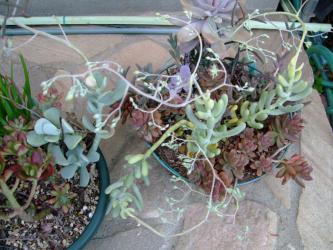 寄せ植えの中の大型セダム アラントイデス~葉変わりタイプ2種~ポツポツ咲いています♪2013.03.25