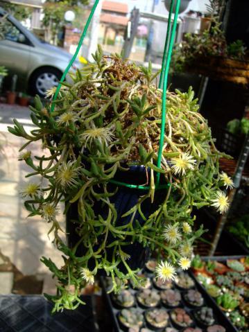 フィロボルス テヌイフロルス(Aizoaceae Phyllobolus tenuiflorus) 昨秋一回り大きい鉢に植え替えて現在まだ開花中~少し黄ばんできた葉~2013.03.22