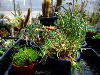 手前2種~塊茎葉物メセン フィロボルス(Phyllobolus sp)*ラビエイ rabiei ?*レスルゲンス resurgens?テラテラ葉はまだ茂っています♪咲き終わり~ですが種はどうもできていません~2013.03.22
