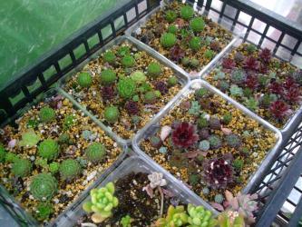 センペルビウム繁殖中~♪ランナーで増えたのを置いておいただけ~いい感じに茂ってきました♪2013.03.26