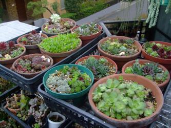 センペル寄せ植え~棚上に上げ日光浴で梅雨前まで野晒し育てます♪2013.03.26