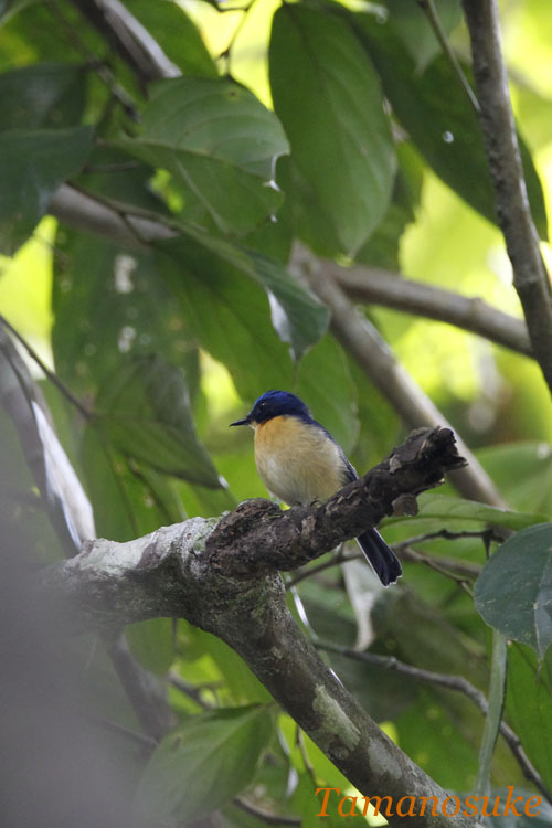 Bornean_Blue_Flycatcher_20.jpg