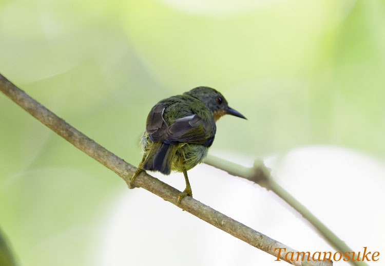 Ruby_Cheeked_Sunbird_20.jpg