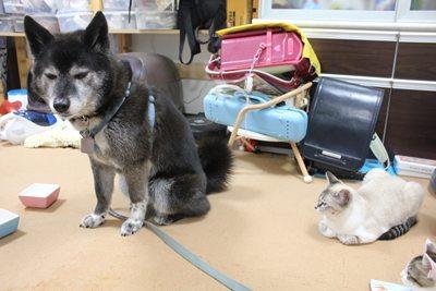 犬vs子猫 里親募集中☆石川富山福井(猫のみ)