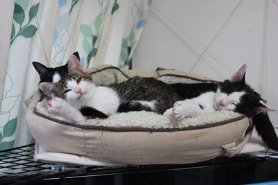 子猫たち、テレビの上で里親募集中!石川富山福井
