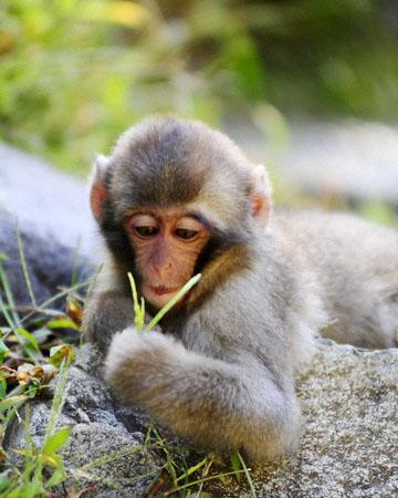 blog (8x10) 14 Jigokudani, Snow Monkey_DSC3828-9.23.14.(2).jpg